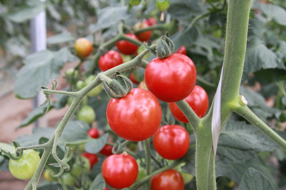 丹下のトマト